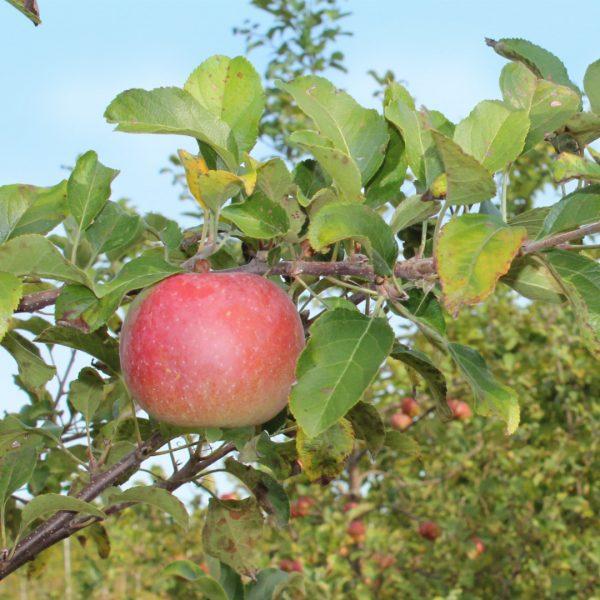 Red Fuji Apple on tree