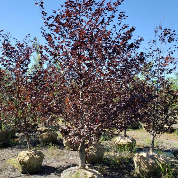 Rivers Purple Beech Tree in root ball