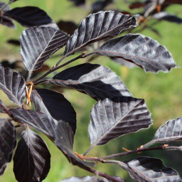 Rivers Purple Beech leaf close up