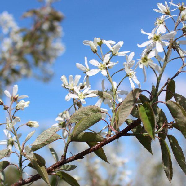 Autumn Brilliance Serviceberry flower