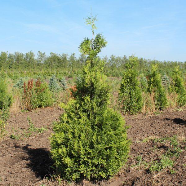 Brabant Arborvitae