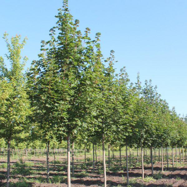 Emerald Lustre Norway Maple Trees