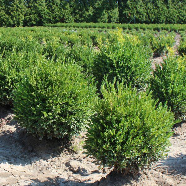 Green Gem Boxwoods