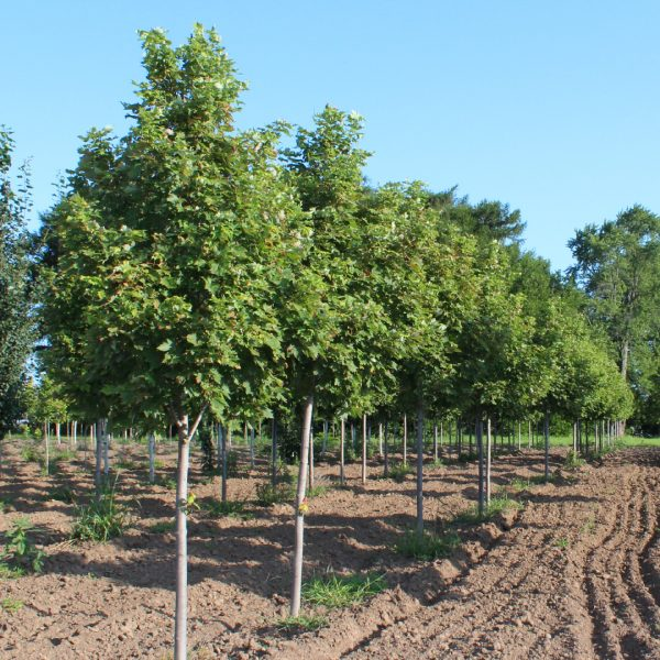 Marmo Maple Trees