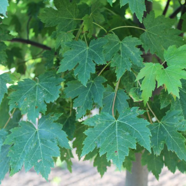 Marmo Maple Leaves close up