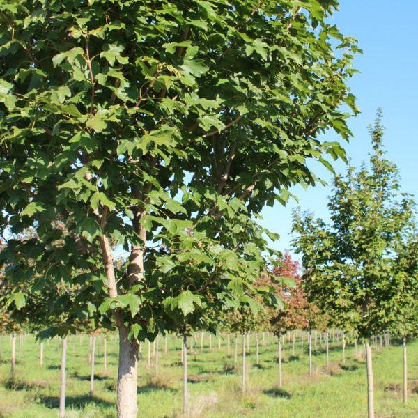 State Street Maple tree