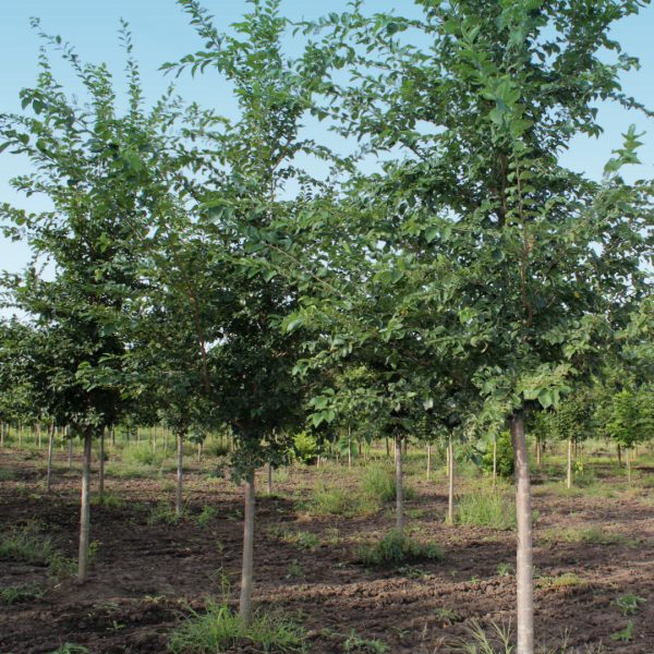 Triumph™ Elm trees