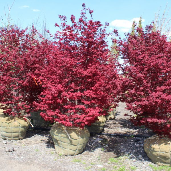 Twombly's Red Sentinel Japanese Maples