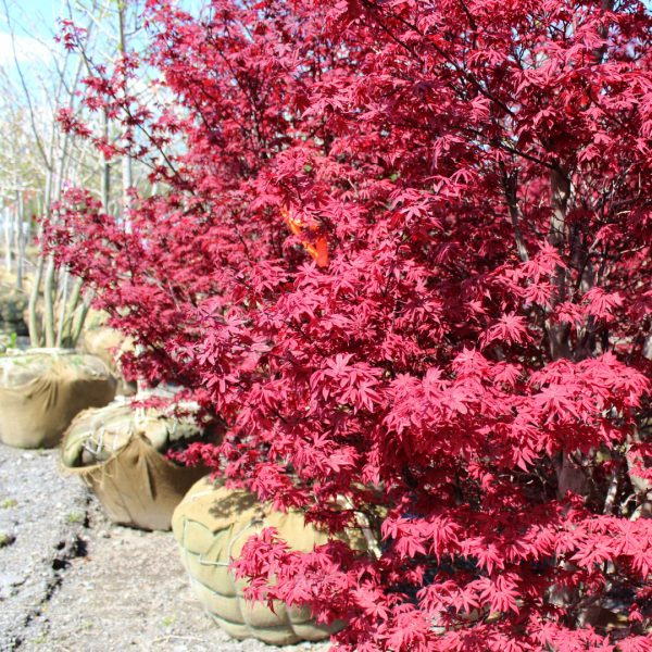 Twombly's Red Sentinel Japanese Maples close up