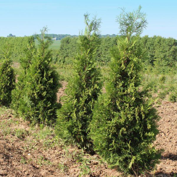 Wintergreen Arborvitae