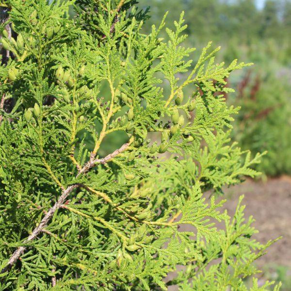 Brabant Arborvitae close up