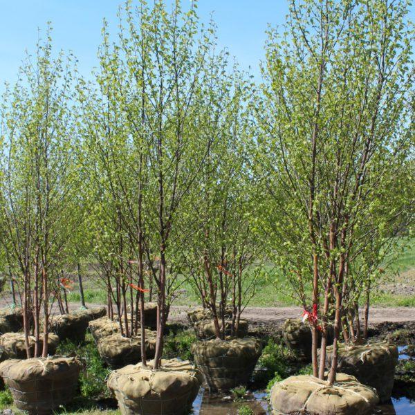 Renaissance Oasis® Birch trees