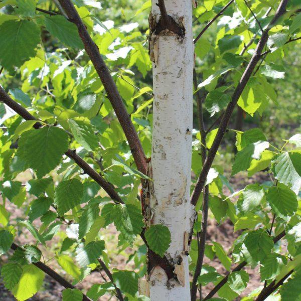 Renaissance Reflection® Birch bark