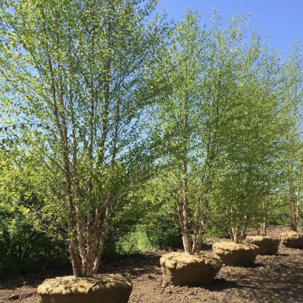 River Birch trees in a row