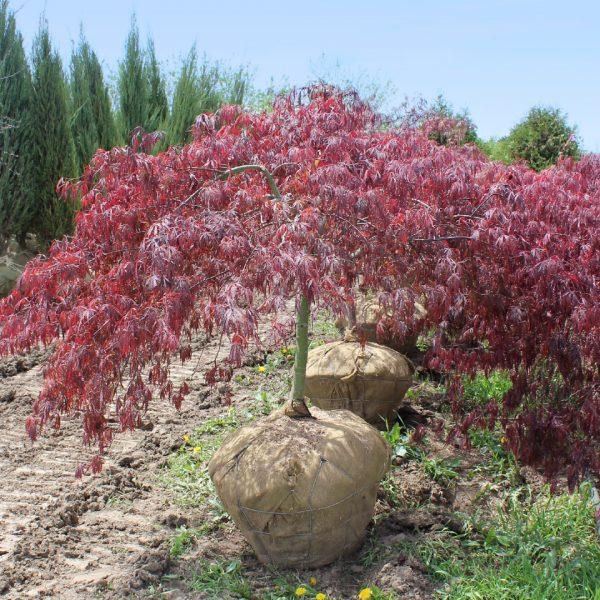 Tamukeyama Japanese Maple Tree