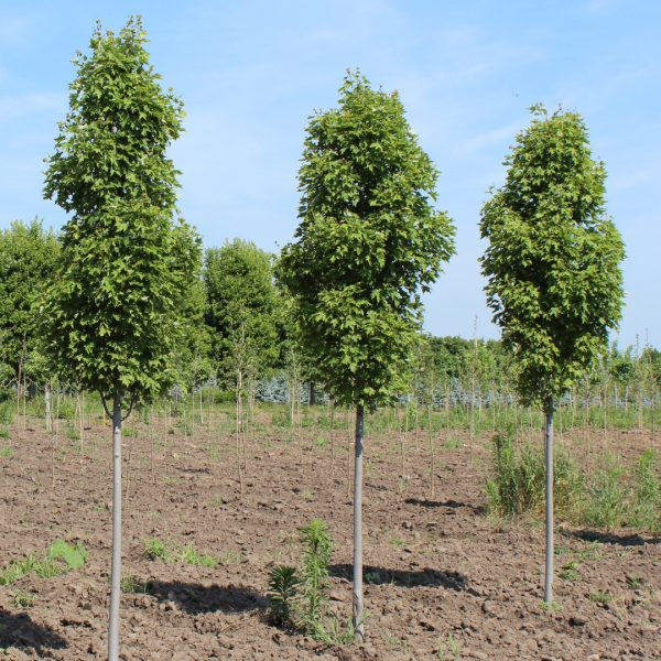 Armstrong Gold Maple trees