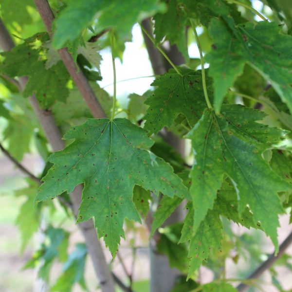 Armstrong Gold Maple tree leaf close up