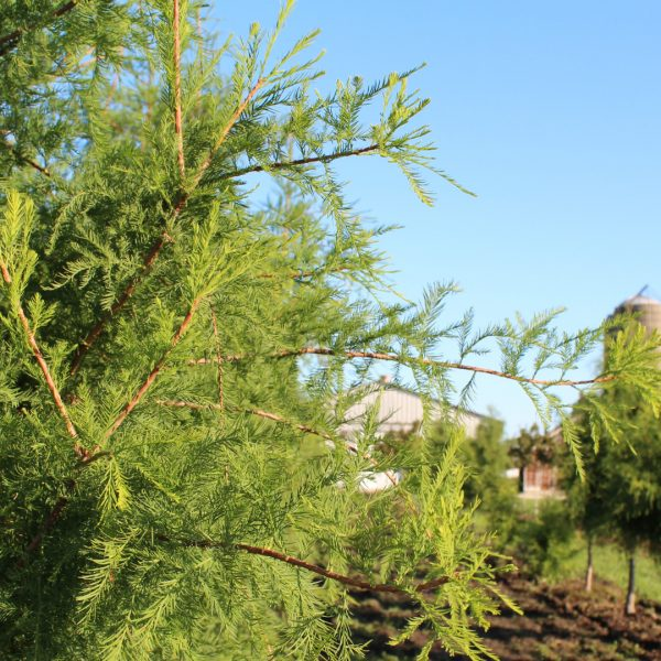Bald Cypress leaves