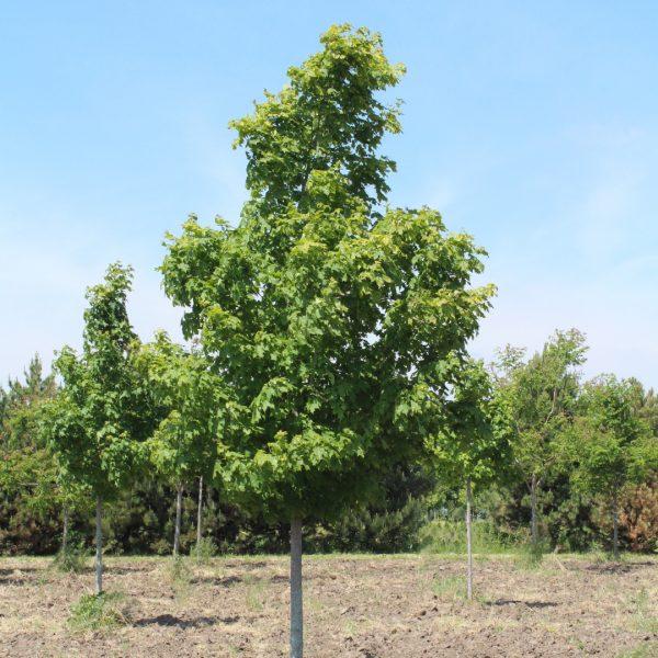 Green Mountain Sugar Maple Tree