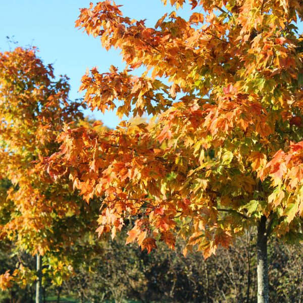 Red Sunset® Red Maple fall leaves