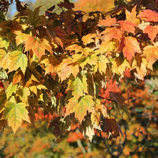 Red Sunset® Red Maple close up