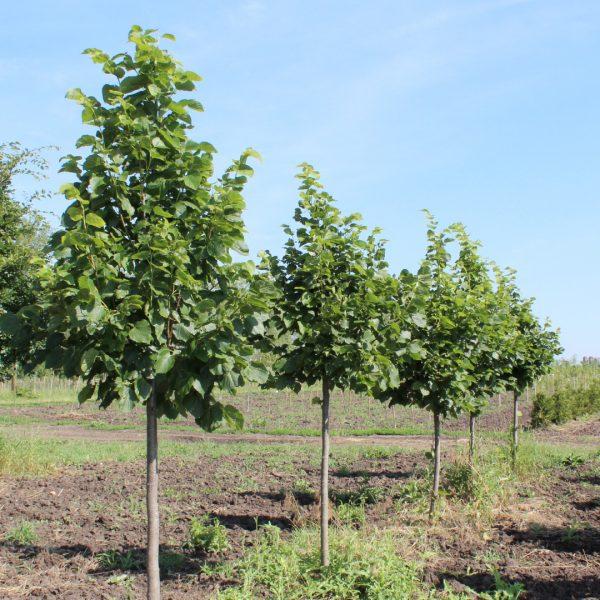 Redmond Linden trees