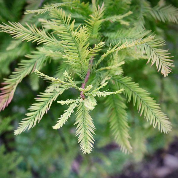 Shawnee Brave® Bald Cypress close up