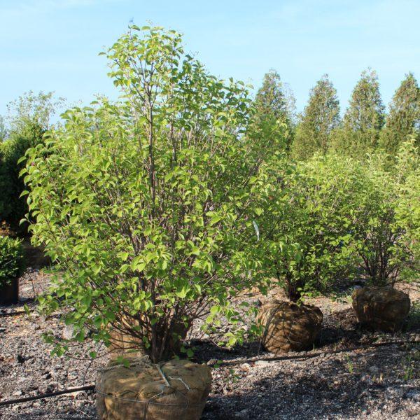 Autumn Jazz Viburnum shrub