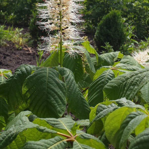 Bottlebrush Buckeye shrub