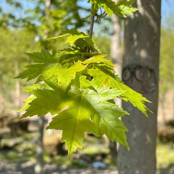 Close up of Autumn Blaze® Maple leaves