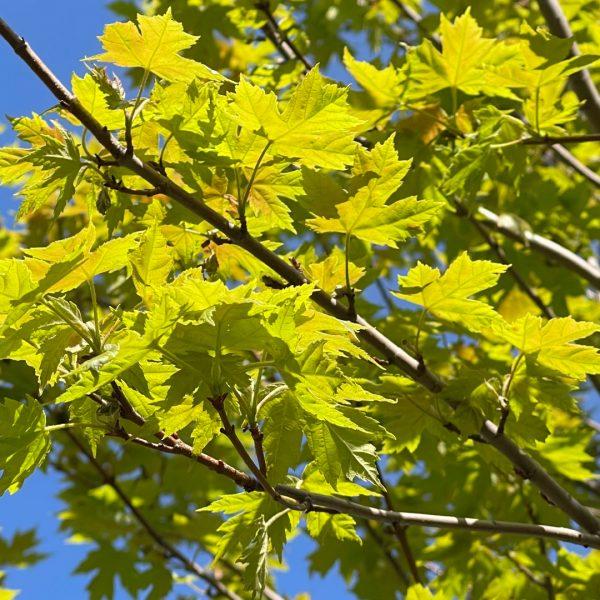 Autumn Blaze® Maple leaves