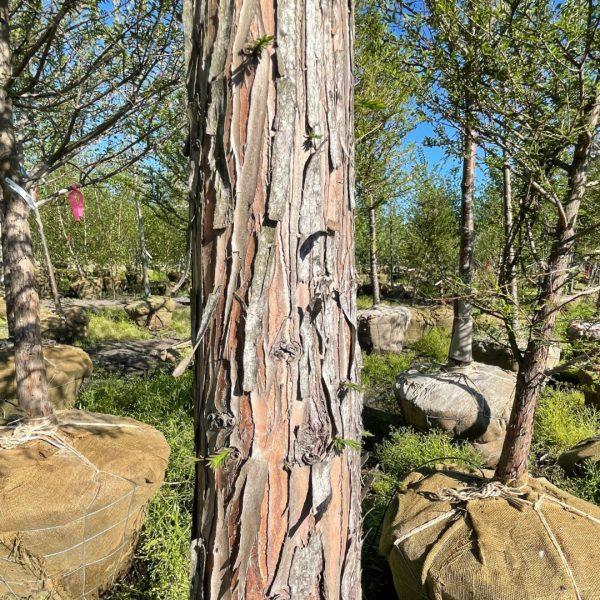 Close up of Bald Cypress bark