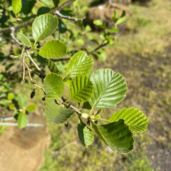 Close up of Black Alder leaves