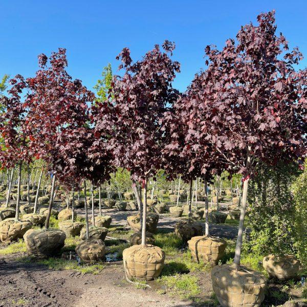 Crimson King Norway Maple