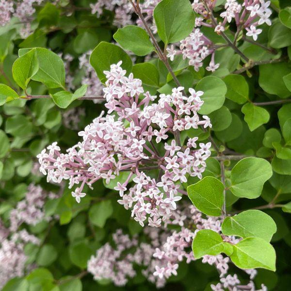 Close up of Dwarf Korean Lilac spring blooms