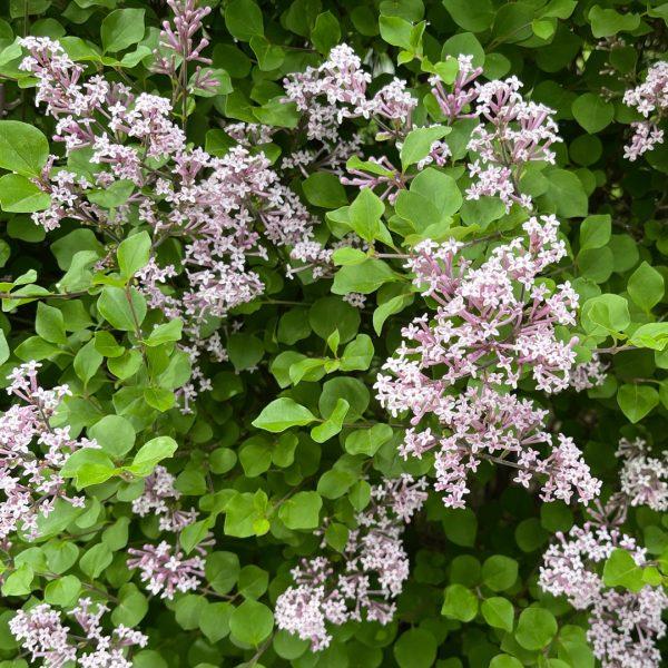 Dwarf Korean Lilac spring blooms