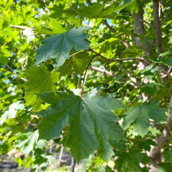 Close up of Emerald Lustre Norway Maple leaves