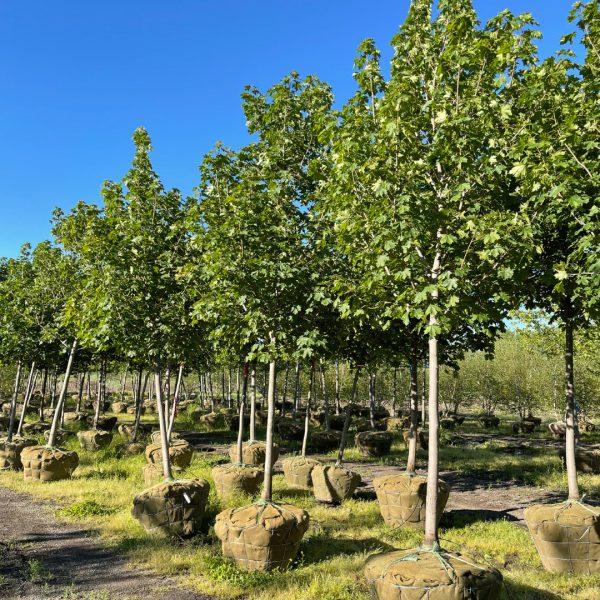Emerald Lustre Norway Maple