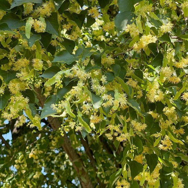 Close up of Greenspire Linden spring blooms