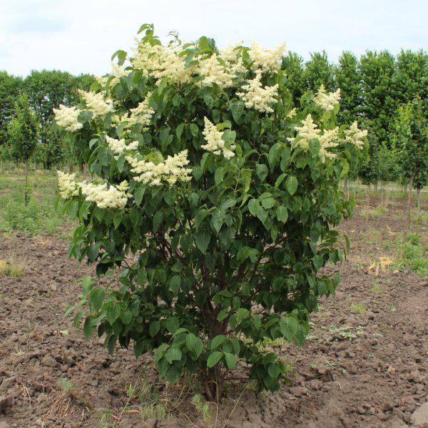 Ivory Silk Japanese Lilac