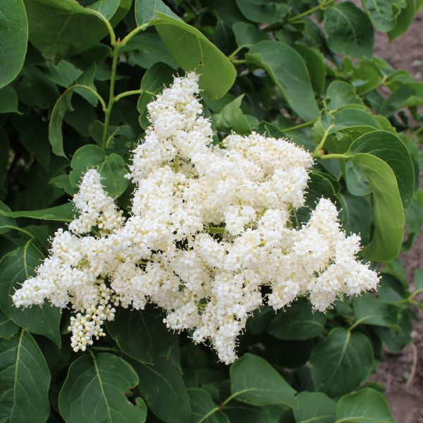 Close up of Ivory Silk Japanese Lilac blooms