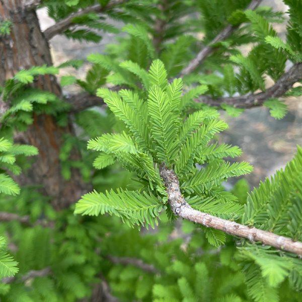 Close up of Peve Minaret Dwarf Bald Cypress leaves