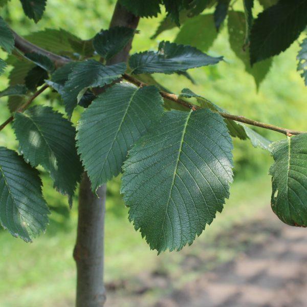 Close up of Princeton Elm leaves