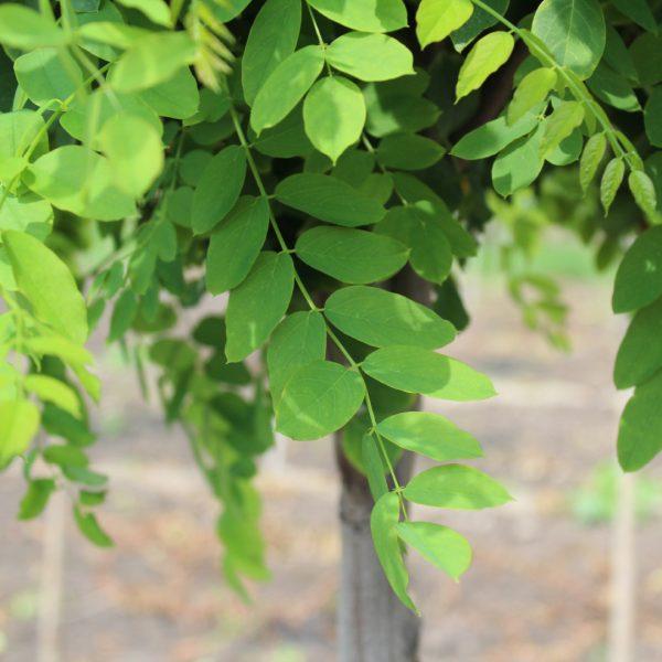 Close up of Purple Robe Black Locust leaves
