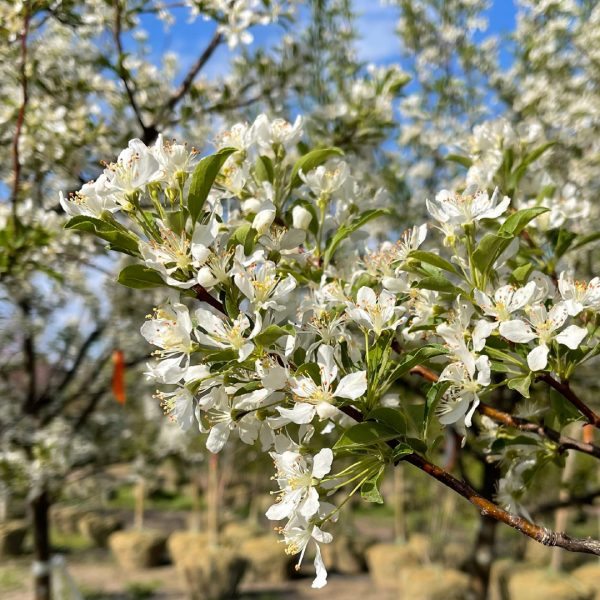 Red Jewel™ Crabapple with spring blooms