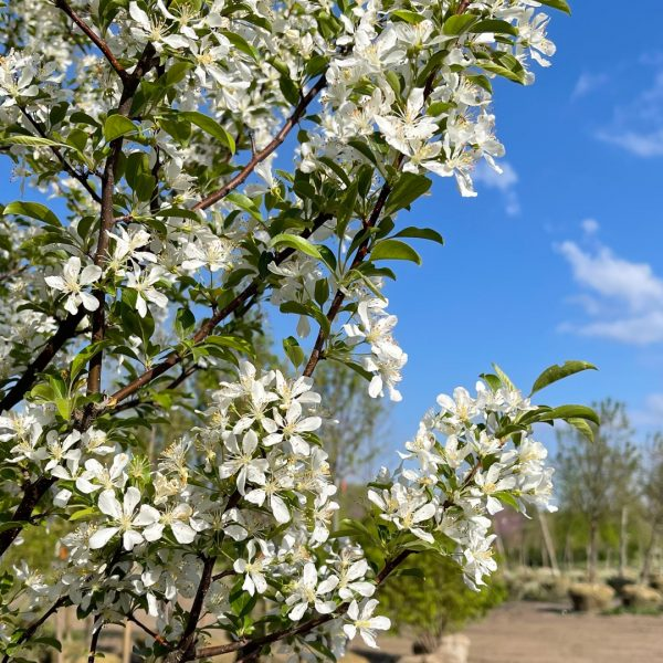Red Jewel™ Crabapple with springtime blooms
