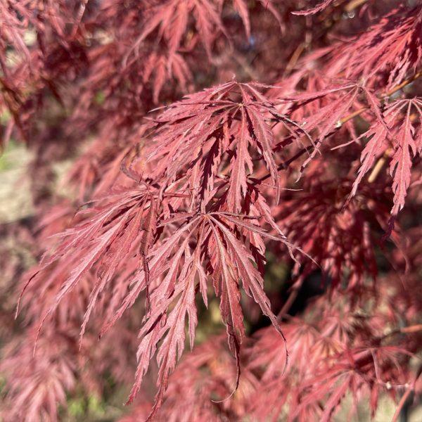 Close up of Tamukeyama Japanese Maple leaves