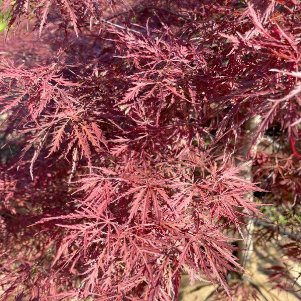 Tamukeyama Japanese Maple leaves