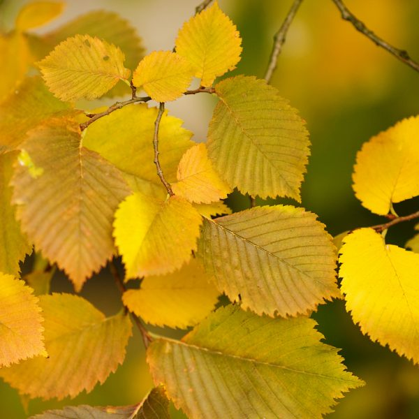 Close up of Triumph Elm leaves with fall color